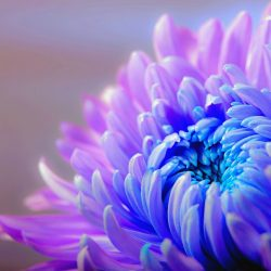 chrysanthemum-1332994_960_720